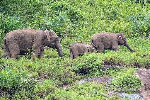 Wild elephant nelliyambathi 2