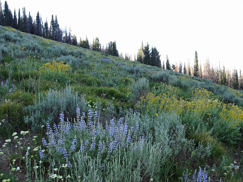 File:Wildflowers in SNRA 2.JPG