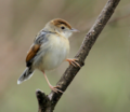 Winding cisticola.png