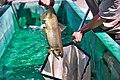 Winter-run Chinook salmon 2017-08-09 (26649278058).jpg