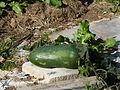 Winter melon - first frost - P1100570.JPG
