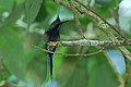 Wire-crested Thorntail (Discosura popelairii) 2015-06-14 (5) (40283775722).jpg