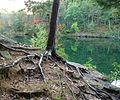 Tree roots anchor the structure and provide water and nutrients. The ground has eroded away around the roots of this young red pine tree.