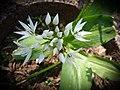 Wood garlic Bärlauch Allium ursinum 02.jpg