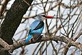 Woodland Kingfisher (Halcyon senegalensis) (16768313526).jpg