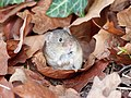 Woodmouse - Apodemus Sylvaticus in fallen leaves.jpg