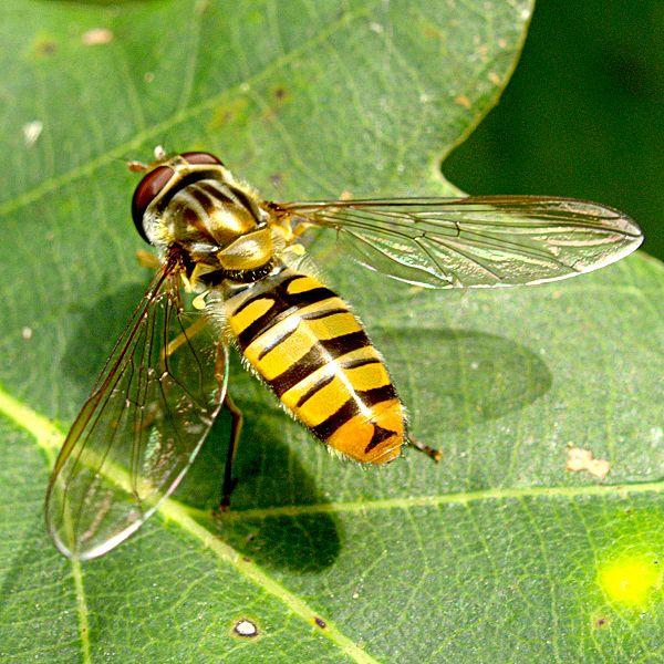 vliegen net voor eten