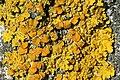 Xanthoria.polycarpa.closeup.jpg