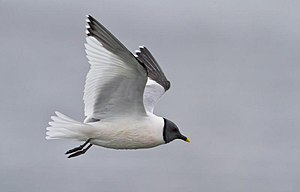 Sabine's gull - Adult flying in Iceland