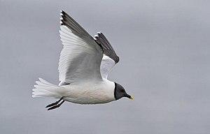 A Sabine's Gull in Iceland.