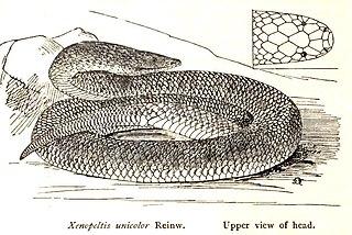 <i>Xenopeltis</i> genus of reptiles