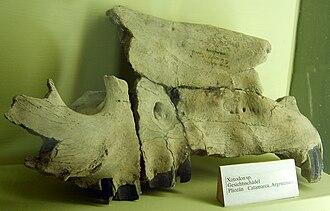 Toxodontidae - Xotodon sp. skull at the Museum für Naturkunde, Berlin