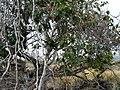Xylosma hawaiiense (5437473524).jpg