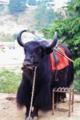 Yak, Indian wild animal.tif