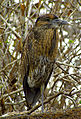 Yellow-crowned Night Heron, juvenile, Genovesa.jpg
