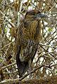 Yellow-crowned Night Heron, juvenile, Genovesa.jpg