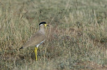 Yellow wattled lapwing - Adult.jpg