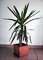 Yucca2.jpg