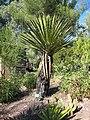 Yucca faxoniana JOT.jpg