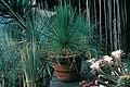 Yucca queretaroensis fh 0335 MEX in cultur in Mannheim F. Hochstätter 20 Jahre altes Exemplar B.jpg