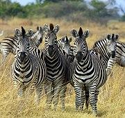 Zebra Botswana edit