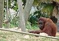 Zoo Parc Beauval (4872370151).jpg