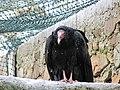 Zoo des 3 vallées - Urubu à tête rouge - 2015-01-02 - i3311.jpg