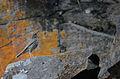 Zorzal Cola Rufa, Hermit Thrush, Catharus guttatus (8734364630).jpg
