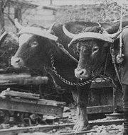 Oxen wearing head yokes