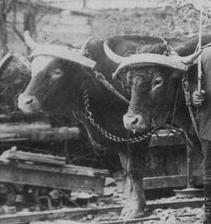 Yoke - Oxen in Germany wearing head yokes