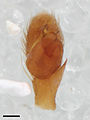 Zygoballus minutus pedipalp 01 with scale.jpg