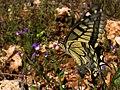 """Common Yellow Swallowtail"" * Papilio machaon (6926139698).jpg"