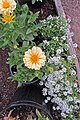 'Dreamland Yellow' zinnia elegans and 'Giga White' lobularia maritima IMG 4182.jpg