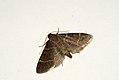 (1415) Orthopygia glaucinalis (3639327887).jpg