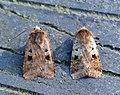 (2120) Ingrailed Clay (Diarsia mendica) (7185859751).jpg