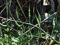 (ALB) R. sativus-5.jpg