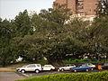 Árbol en Recoleta - panoramio.jpg