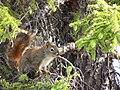 Écureuil aux aguets.jpg
