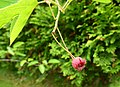 Świdośliwa owoc. 03.jpg