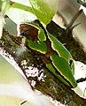 Восточная квакша - Hyla orientalis - Oriental Tree Frog (Shelkovnikov's Tree Frog) (37589062720).jpg