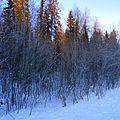 Зимний лес - panoramio (8).jpg