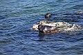 Из жизни байкальской нерпы близ Ушканьих островов 09.jpg