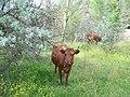 Корова червона степова.jpg