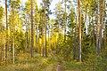 Осень в Медведском бору.jpg