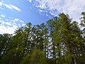 Петровщинская лиственничная роща вид изнутри.JPG