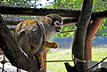 Саймірі в Рівненському зоопарку DSC 6147.jpg