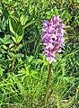 Сибирская орхидея (Пальчатокоренник).jpg