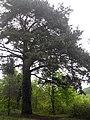Сосна Паліцина в період цвітіння.jpg