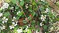 Червоні плоди куща з жорсткими листочками й квіточками на п'ять пелюсток у Воєводино.jpg