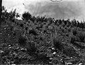התפתחות עצי הקזוארינה והאקציה שנה וחצי אחרי הנטיעהבקרית ענבים בהרי יהודה-JNF044032.jpeg